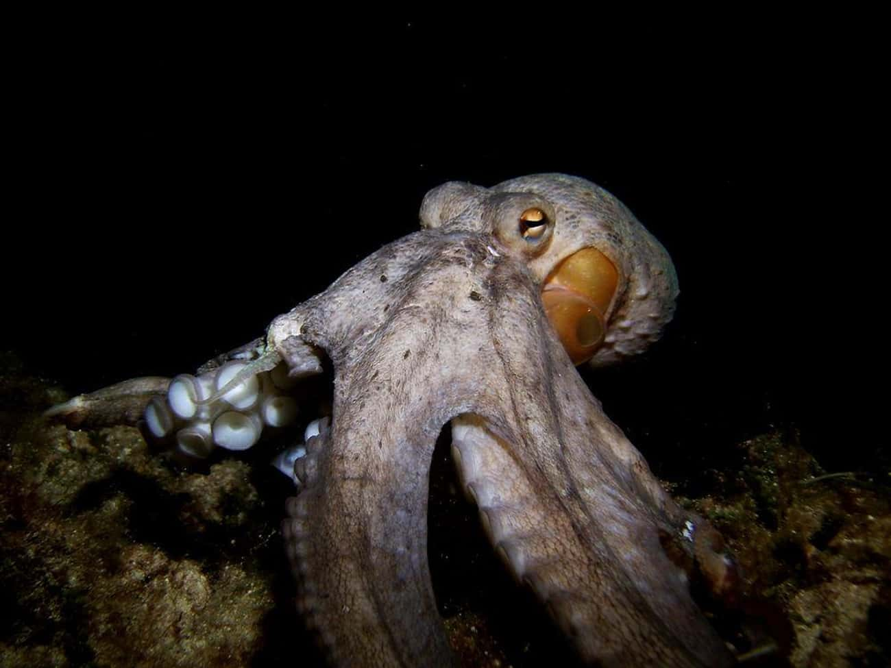 Octopuses Can Edit Their RNA is listed (or ranked) 3 on the list All The Reasons You Should Live In Fear Of An Octopus Apocalypse