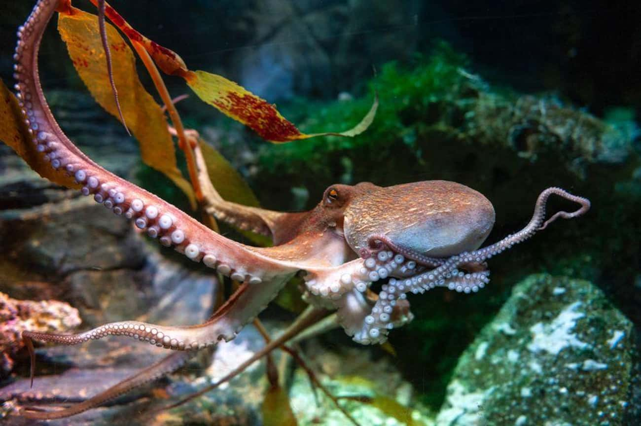 Octopuses Are Deceptively Comp is listed (or ranked) 4 on the list All The Reasons You Should Live In Fear Of An Octopus Apocalypse