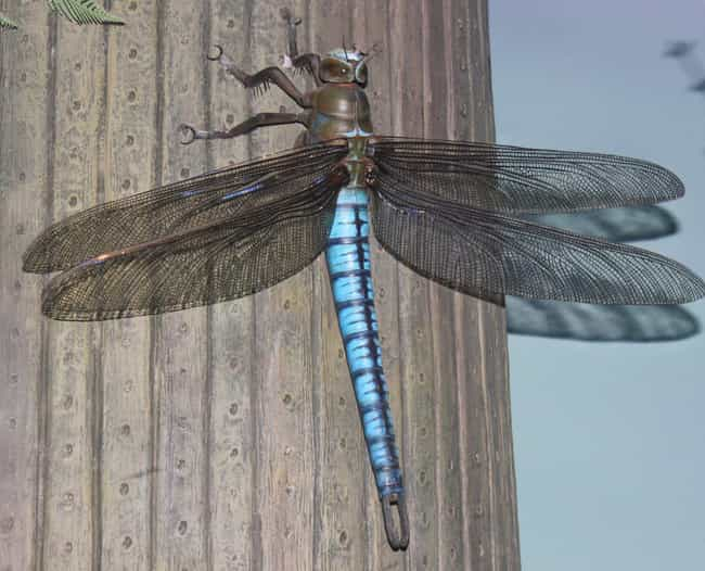 It Was About A Quarter O... is listed (or ranked) 1 on the list 'Meganeura' Was A Prehistoric Dragonfly With A Two-Foot Wingspan