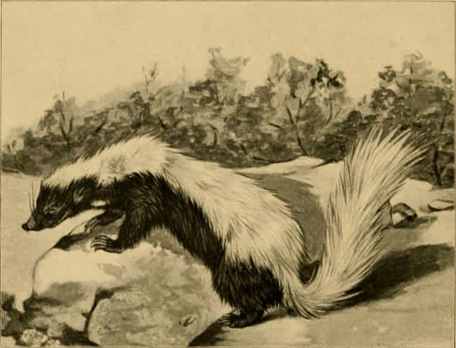 Roast Skunk is listed (or ranked) 3 on the list Here's What Early Pioneers Ate To Survive The Old West