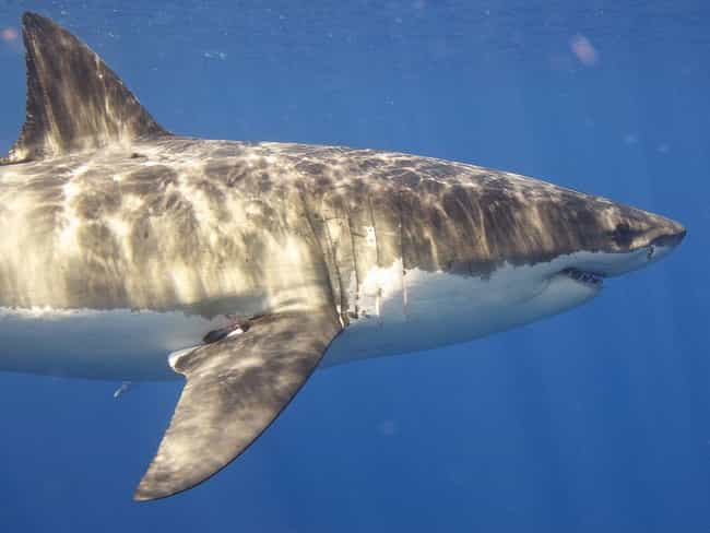 Great White Shark's Genome Dec... is listed (or ranked) 3 on the list The Greatest Scientific Breakthroughs of 2019