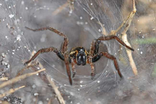 Spiders Are Your Winter ... is listed (or ranked) 4 on the list Creepy-Crawly Myths And Urban Legends About Spiders