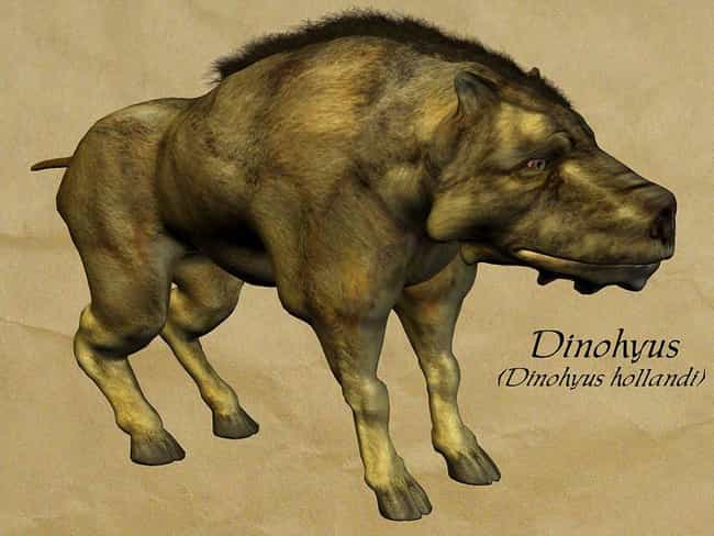 They Had Extremely Large Skull... is listed (or ranked) 3 on the list This Giant Prehistoric 'Hell Pig' Weighed 2,000 Pounds And Had A Brain The Size Of An Orange