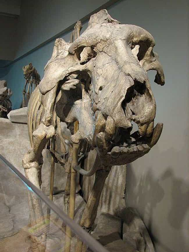 Entelodonts Were Known For The... is listed (or ranked) 1 on the list This Giant Prehistoric 'Hell Pig' Weighed 2,000 Pounds And Had A Brain The Size Of An Orange