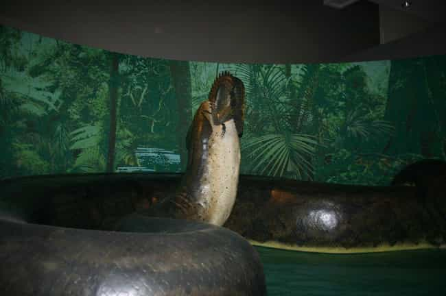 Titanoboa is listed (or ranked) 3 on the list Massive Extinct Animals, Ranked By How Horrifying They Are
