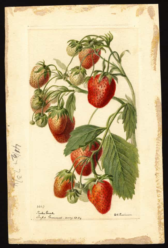 Royal Sovereign Strawberry is listed (or ranked) 1 on the list Here's What People Ate To Survive In Victorian England