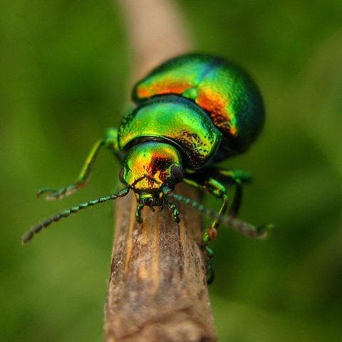 Father Gomez - Unnamed Green-Backed Beetle on Random Daemon In 'His Dark Materials'