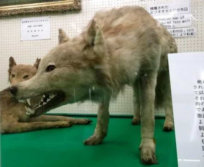 Hokkaidō Wolf is listed (or ranked) 2 on the list Extinct Wolf Species, From Prehistoric Times to Now