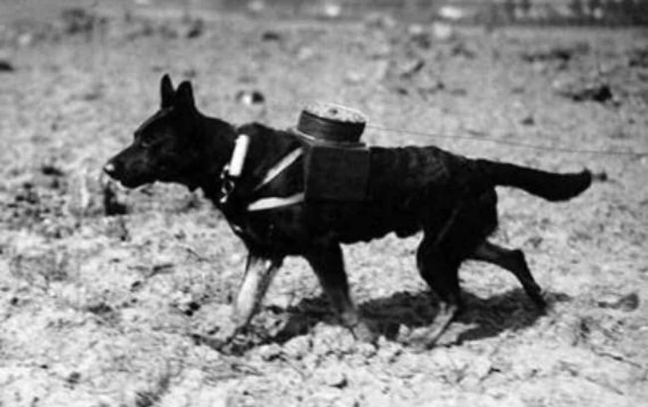 A Messenger Dog Laying An Elec is listed (or ranked) 4 on the list We Found The Best Historical Photos Of Dogs With Jobs