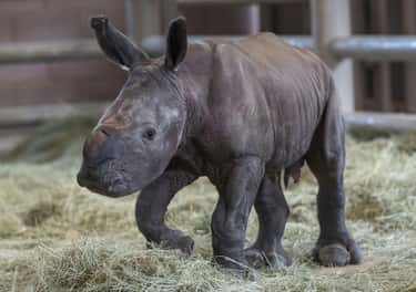 The First Southern White Rhino In North America Conceived Through Artificial Insemination Is Born