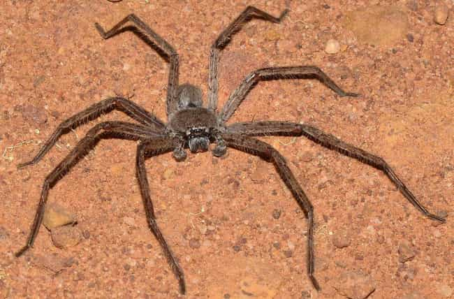 Giant Huntsman Spider is listed (or ranked) 2 on the list These Are The 12 Biggest Spiders In The World