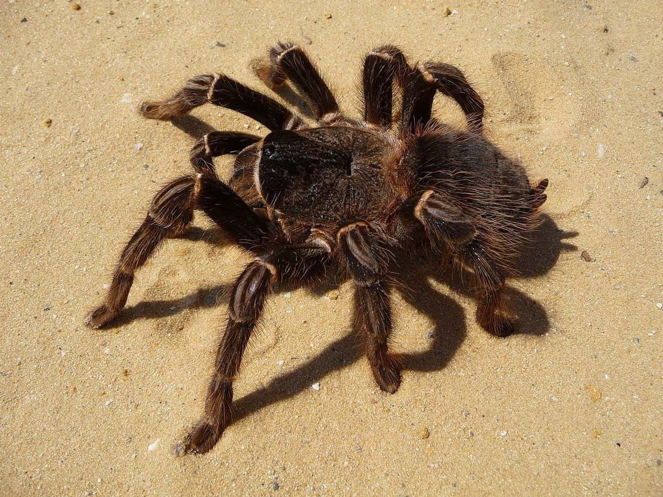 Salmon Pink BirdeaterTarantul is listed (or ranked) 3 on the list These Are The 12 Biggest Spiders In The World