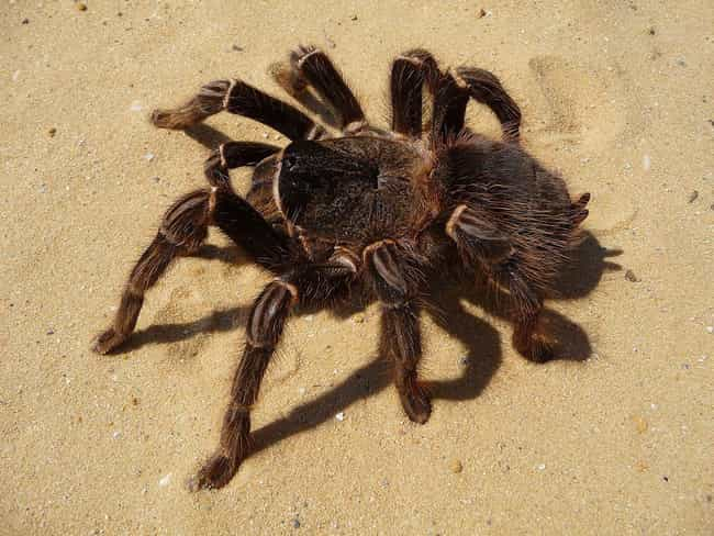 Salmon Pink Birdeater&nb... is listed (or ranked) 3 on the list These Are The 12 Biggest Spiders In The World