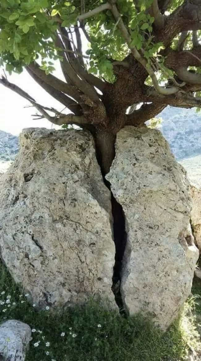 This Tree That Split A Boulder is listed (or ranked) 2 on the list 17 Random Pics From The Internet We Can't Stop Staring At