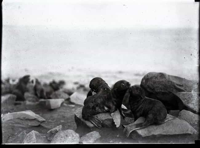 Fur Seal Pups On The Coast Of ... is listed (or ranked) 1 on the list 21 Haunting And Beautiful Vintage Photos Of The Alaskan Frontier