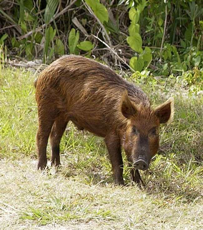 Feral Hogs is listed (or ranked) 1 on the list Invasive Animals You Can Actually Get Paid To Hunt