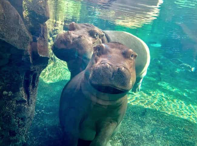 Fiona The Hippo is listed (or ranked) 1 on the list The Cutest Animals Of The 2010s, Ranked