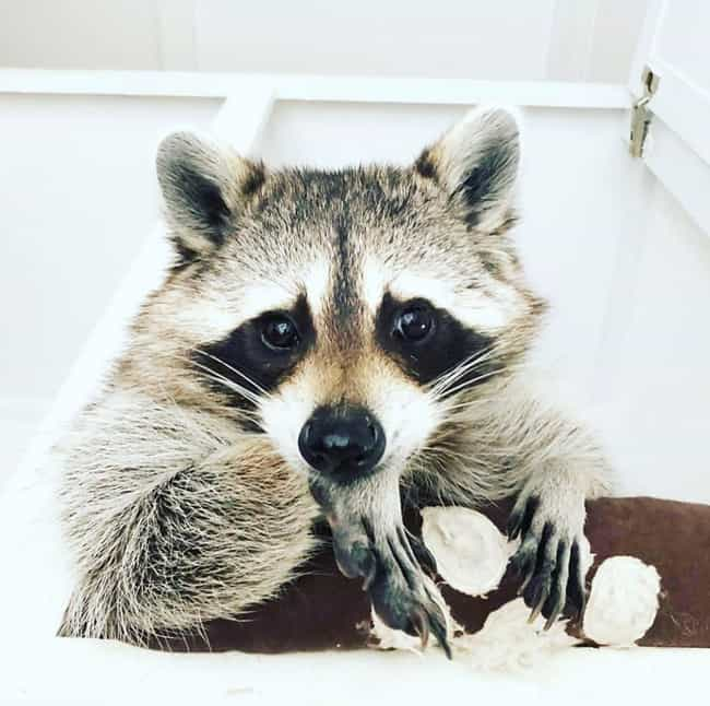 Pumpkin The Raccoon is listed (or ranked) 4 on the list The Cutest Animals Of The 2010s, Ranked