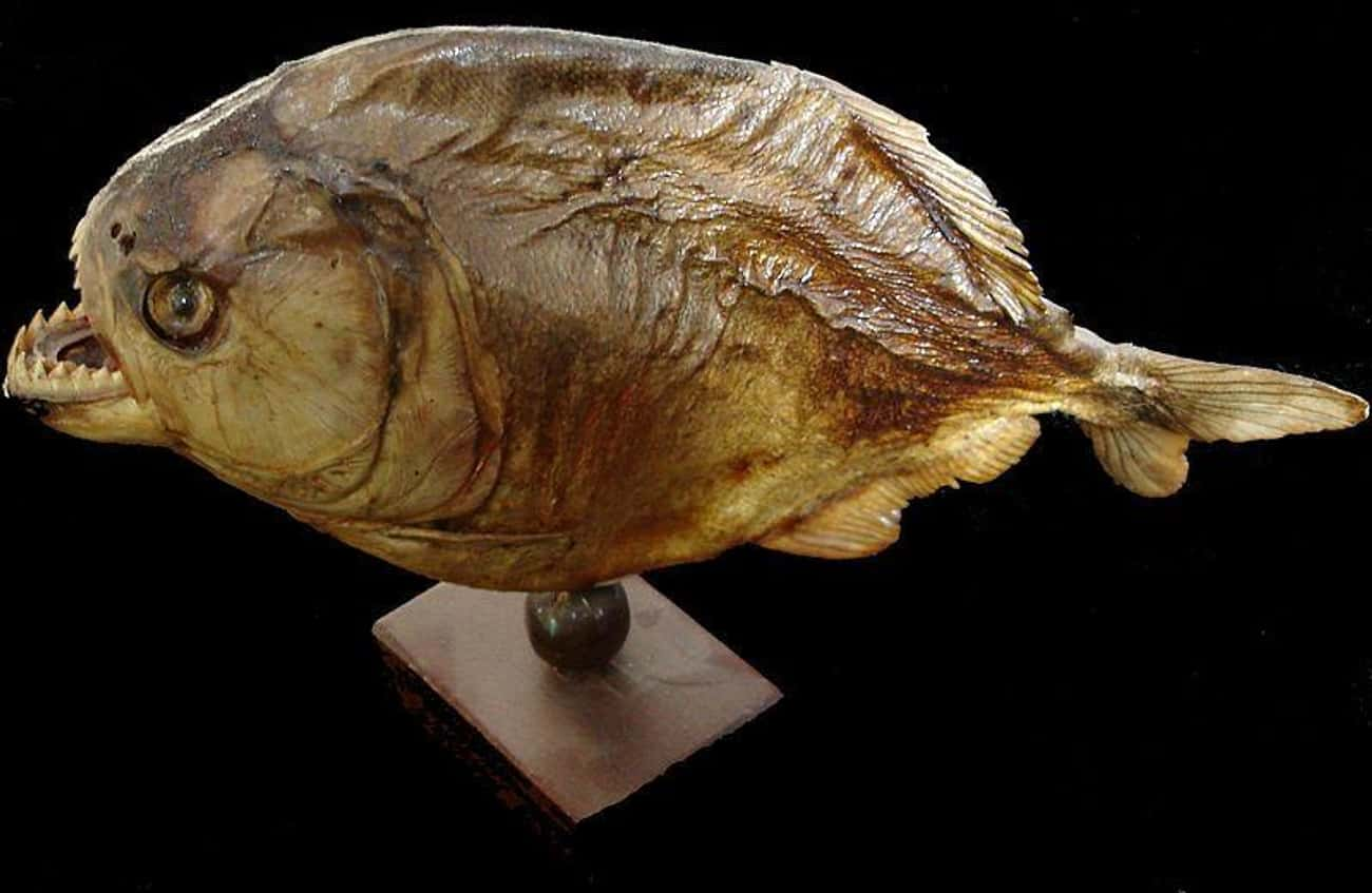 Pound For Pound, Its Bite Was  is listed (or ranked) 1 on the list This 20-Pound Prehistoric Super-Piranha Could Bite With 1,067 Pounds Of Force