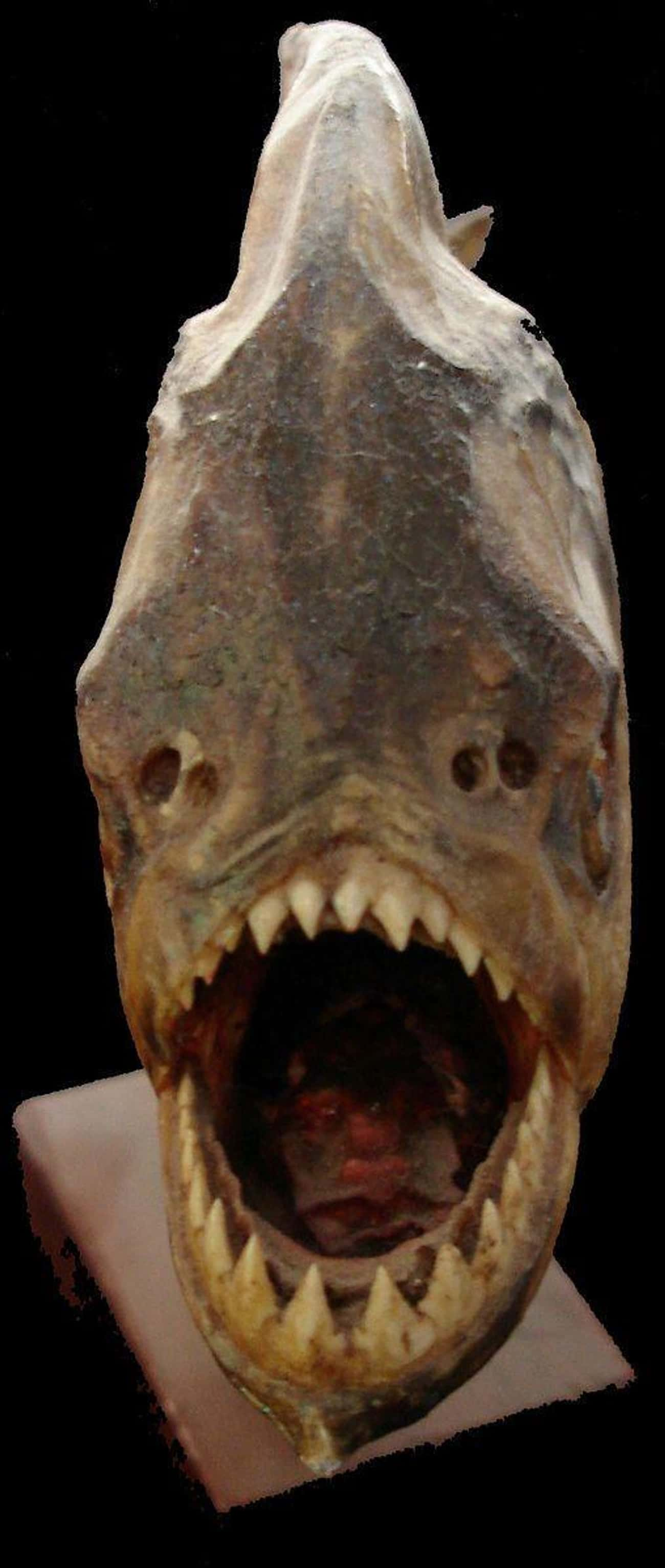 Its Bite Force Was Equal To At is listed (or ranked) 2 on the list This 20-Pound Prehistoric Super-Piranha Could Bite With 1,067 Pounds Of Force