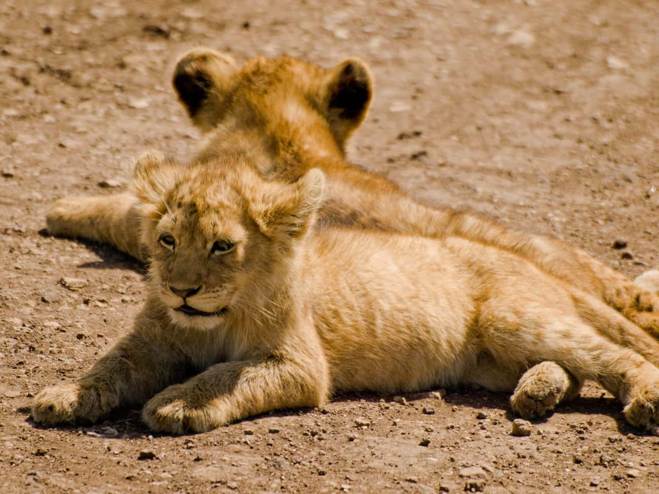 Lions is listed (or ranked) 3 on the list Adorable Baby Versions Of Terrifying Animals