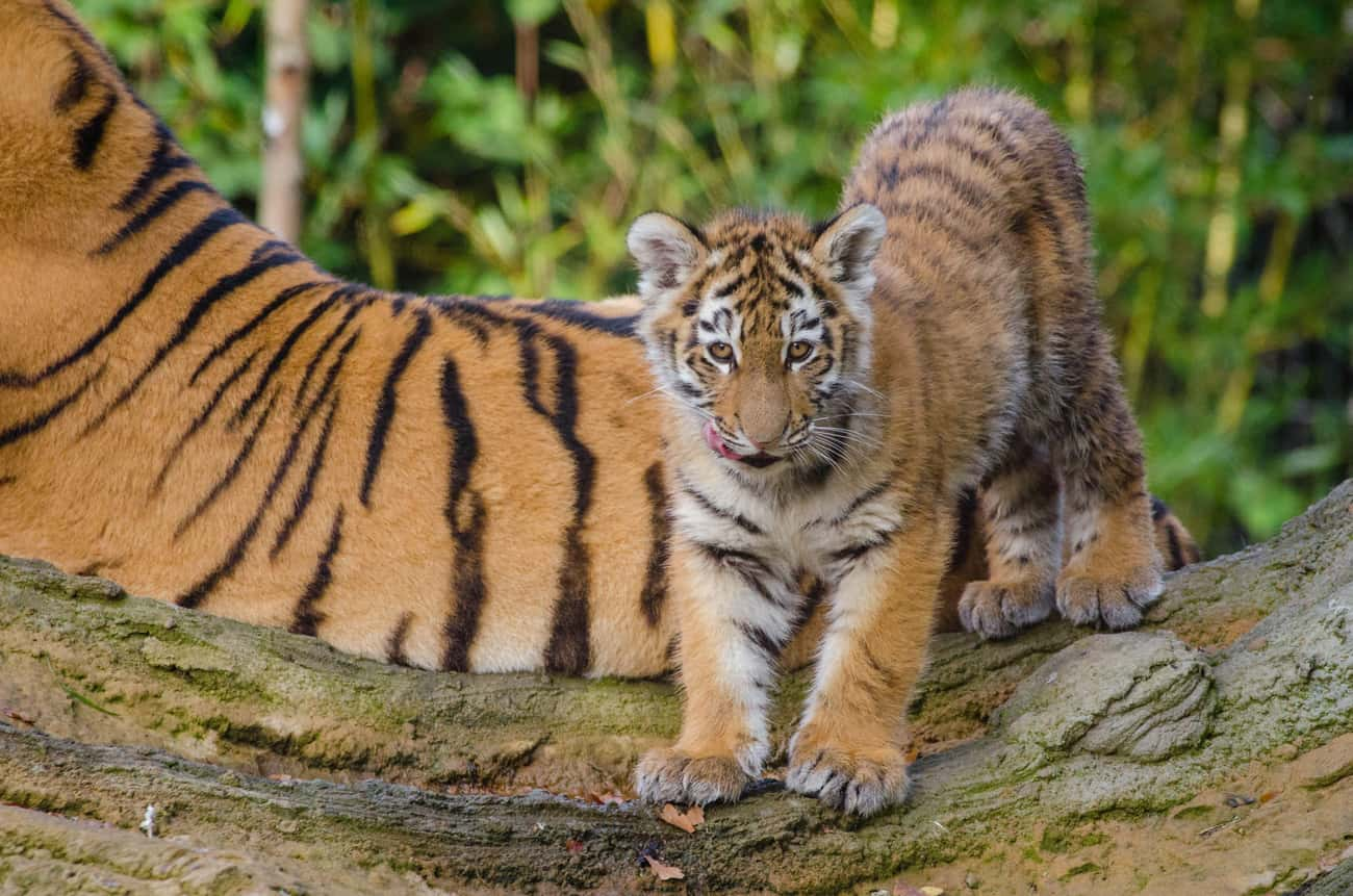 Tiger is listed (or ranked) 4 on the list Adorable Baby Versions Of Terrifying Animals