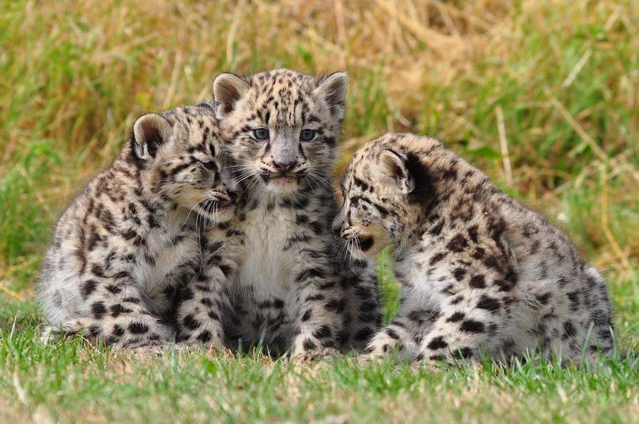 Snow Leopards is listed (or ranked) 1 on the list Adorable Baby Versions Of Terrifying Animals