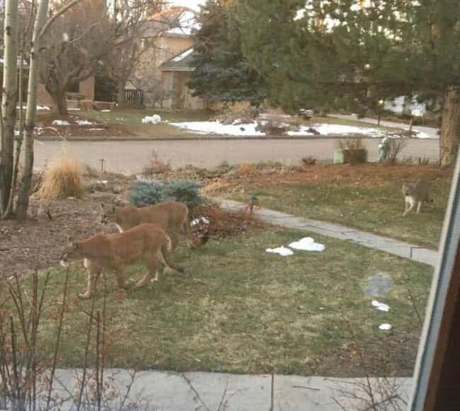 Mountain Lions In Boulde... is listed (or ranked) 3 on the list Animals Are Reclaiming Land Since Humans Went Into Quarantine