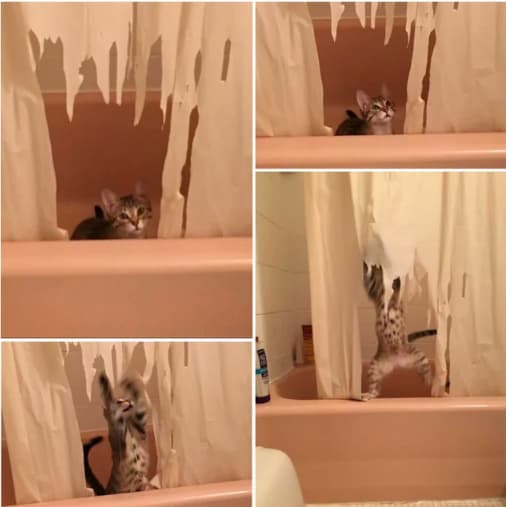 Brand New Shower Curtain  on Random Cat Photos That Prove They Are World's Biggest Jerks