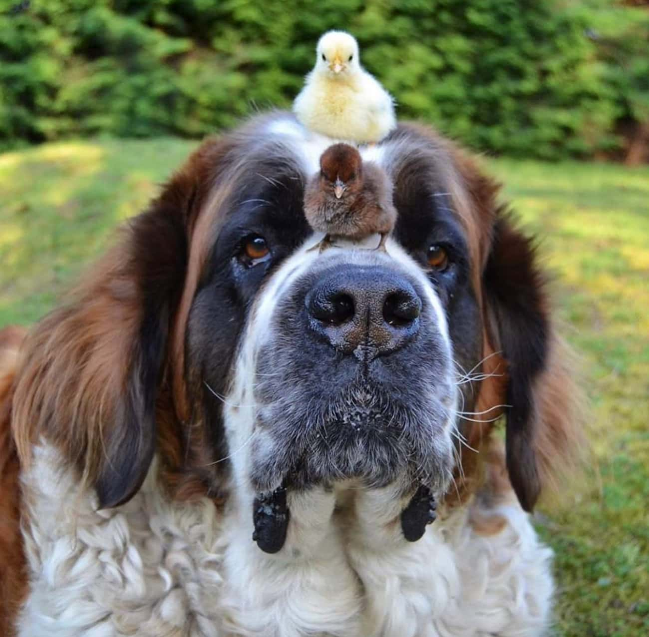 Isolde + Chicks is listed (or ranked) 4 on the list 25 Animal Best Friends Because We Need Some Positivity Right Now
