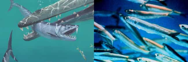 Anchovies And Monosmilus... is listed (or ranked) 3 on the list Modern Animals And Their Prehistoric Counterparts