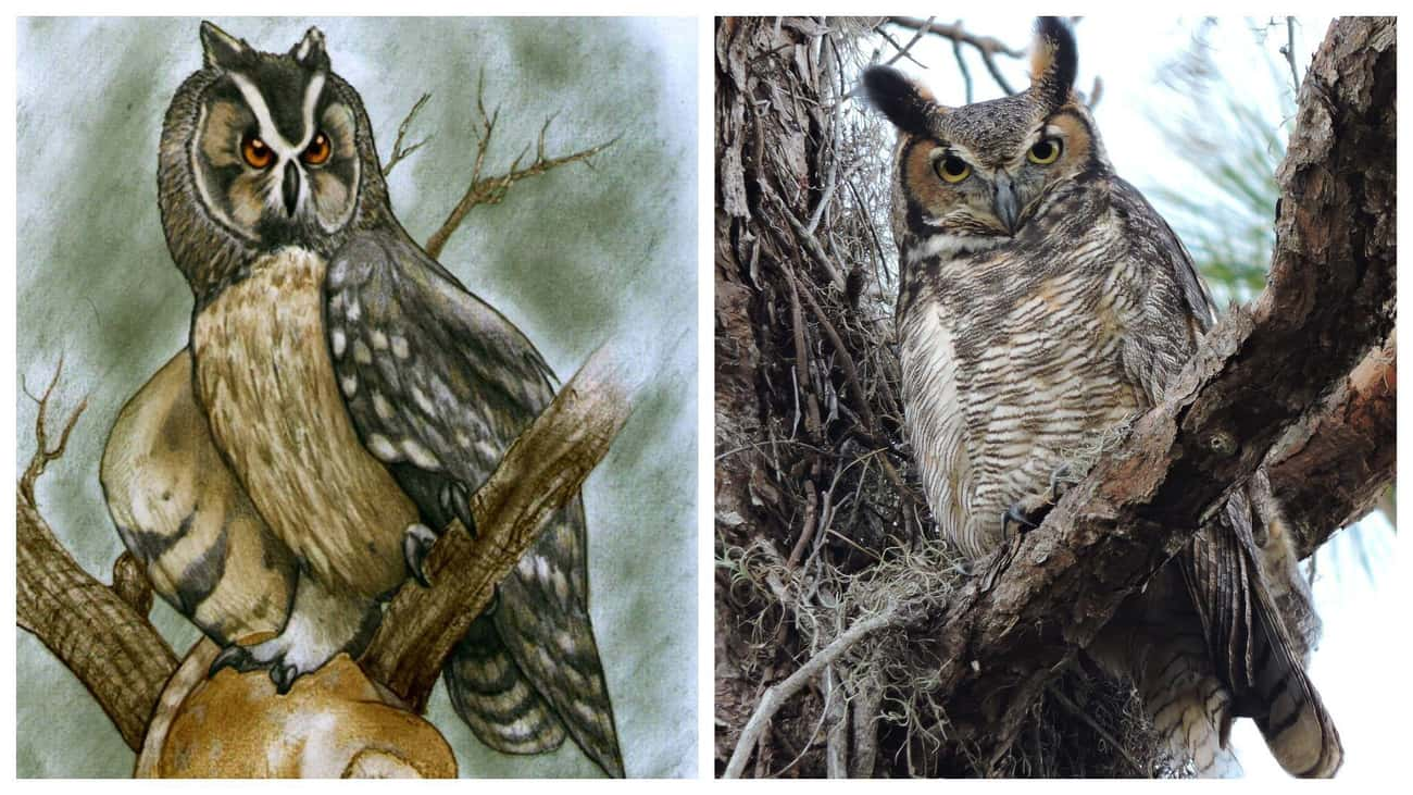 Owls And 'Cannibal' Owls