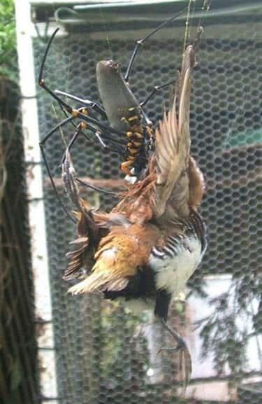 Golden Orb Weaver Spider Vs. Bird