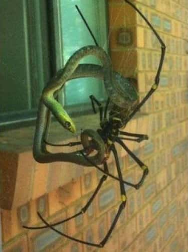 Snake Vs. Spider is listed (or ranked) 1 on the list 20 Terrifying Images That Made Us Say, 'Damn Australia, You Scary'