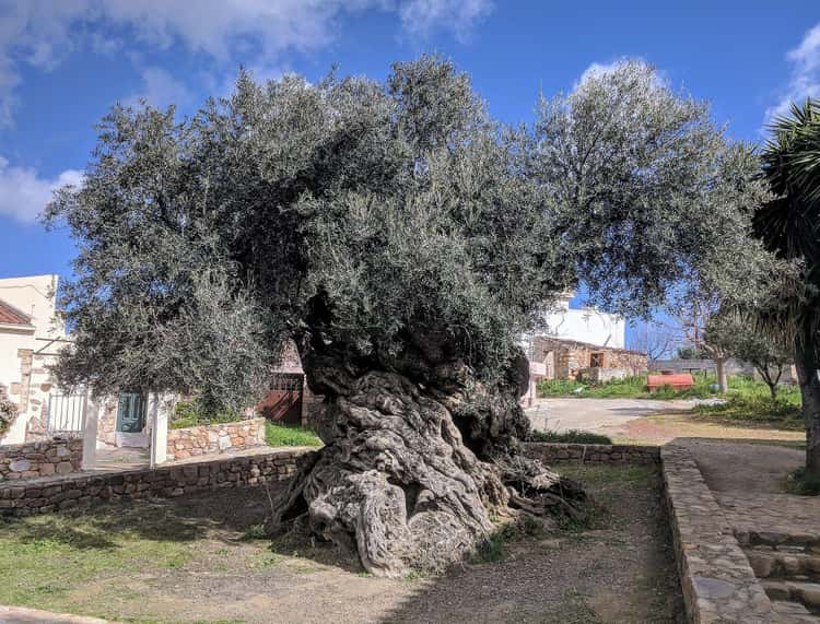 A 2,000-Year-Old Olive Tree In Greece That Still Produces Olives