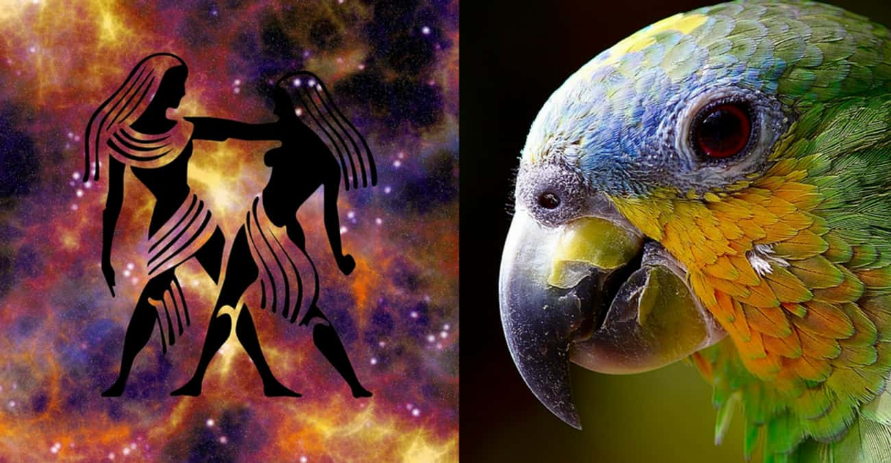 Gemini - Parrot is listed (or ranked) 3 on the list Your Ideal Pet According To Your Zodiac Sign