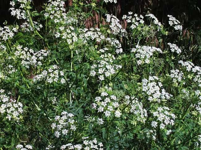 Hemlock Poisoning is listed (or ranked) 1 on the list How To: Poisoning | Worlds Most Poisonous Plants