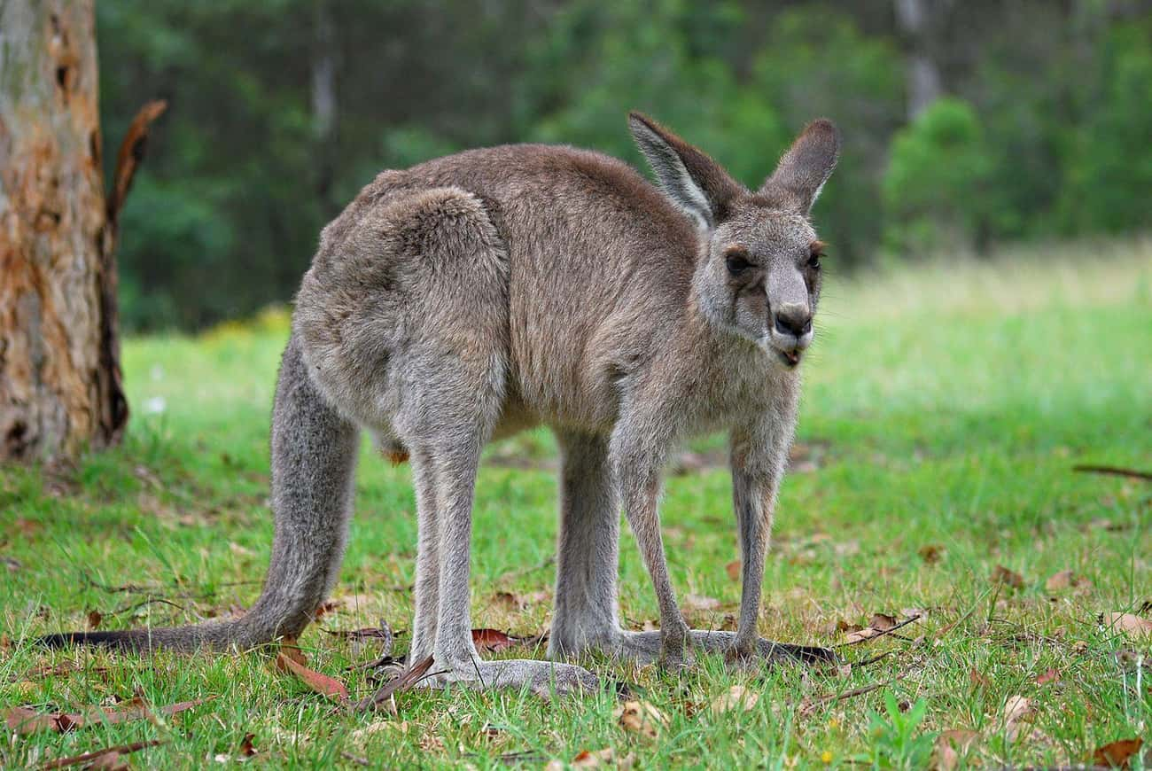 Female Kangaroos Have Three Va is listed (or ranked) 1 on the list 25 Fascinating Facts You Probably Never Learned About Marsupials