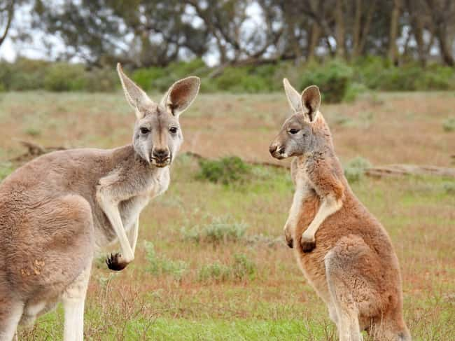 Kangaroo is listed (or ranked) 9 on the list 28 Cute Animals That You Don't Want To Mess With