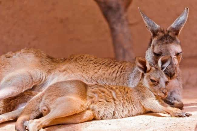 Kangaroo is listed (or ranked) 4 on the list Single Moms Of The Animal Kingdom Doin' It For Themselves