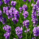 Lavender is listed (or ranked) 26 on the list The Best Flowers to Give a Woman