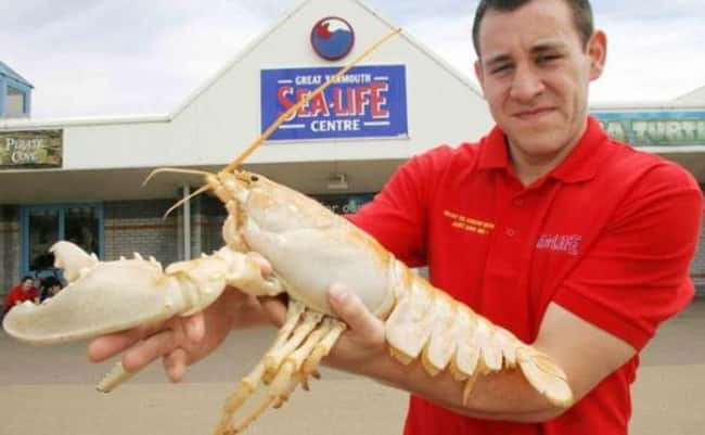 Lobster is listed (or ranked) 17 on the list 38 Incredible Albino (and Leucistic) Animals