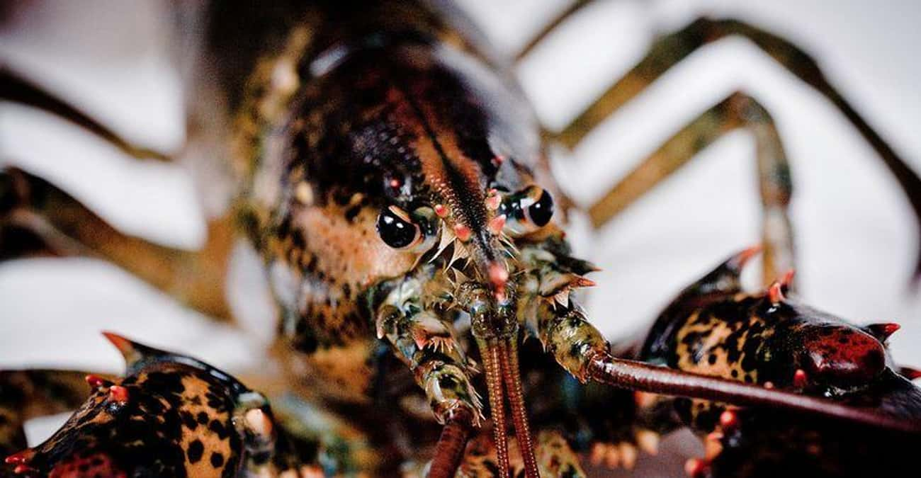 Lobsters is listed (or ranked) 3 on the list Animals That Are Served as Food... Alive!
