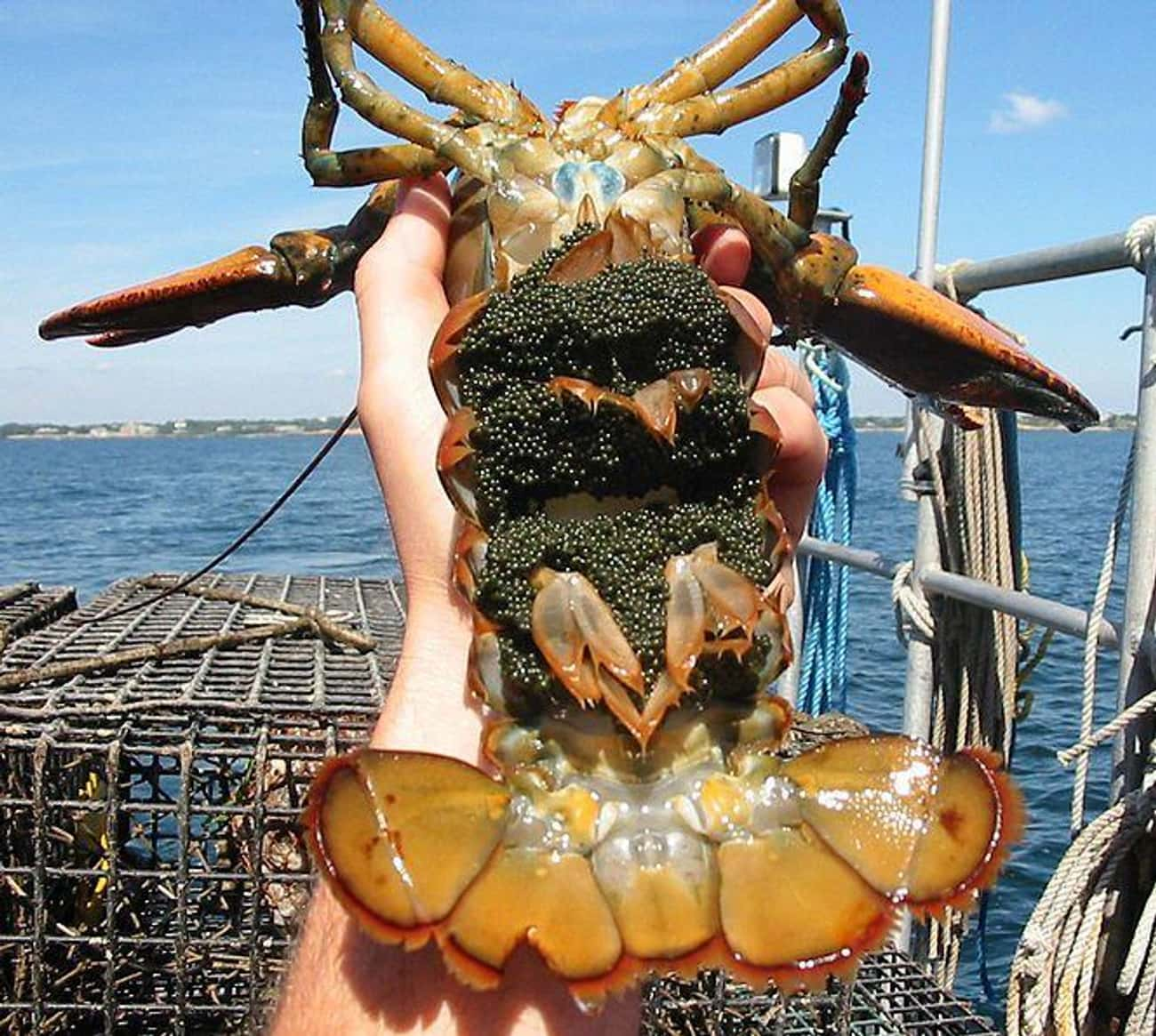 This American Lobster Coated I is listed (or ranked) 3 on the list 17 Seriously Weird Sea Creature Eggs That'll Change How You See The Ocean