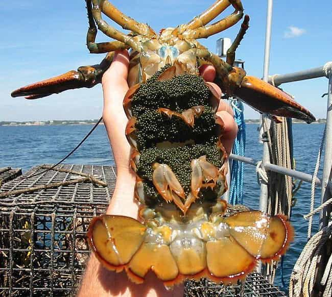 Lobster is listed (or ranked) 3 on the list 18 Seriously Weird Sea Creature Eggs That'll Change How You See The Ocean