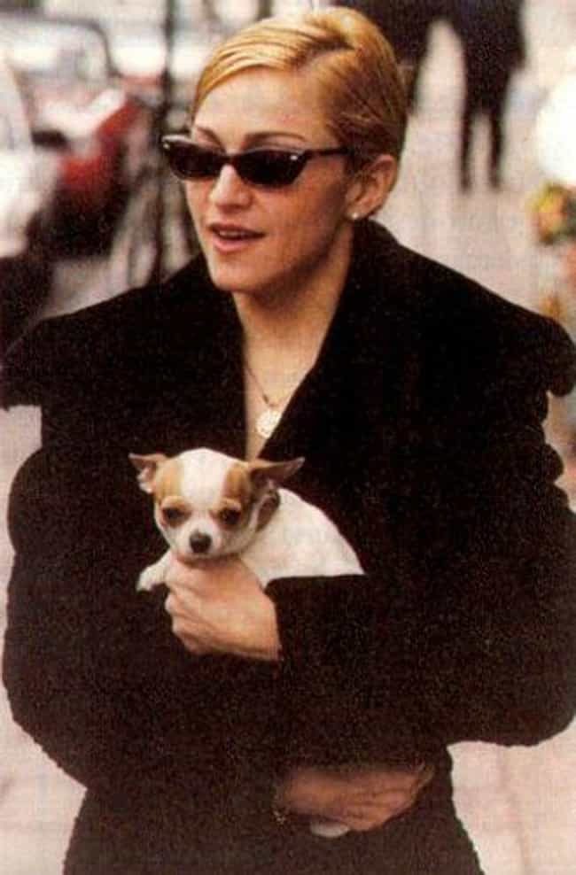 Madonna is listed (or ranked) 4 on the list 25 Celebrities Who Have Chihuahuas