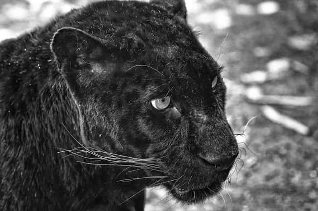 Panther is listed (or ranked) 3 on the list The World's Most Beautiful Animals
