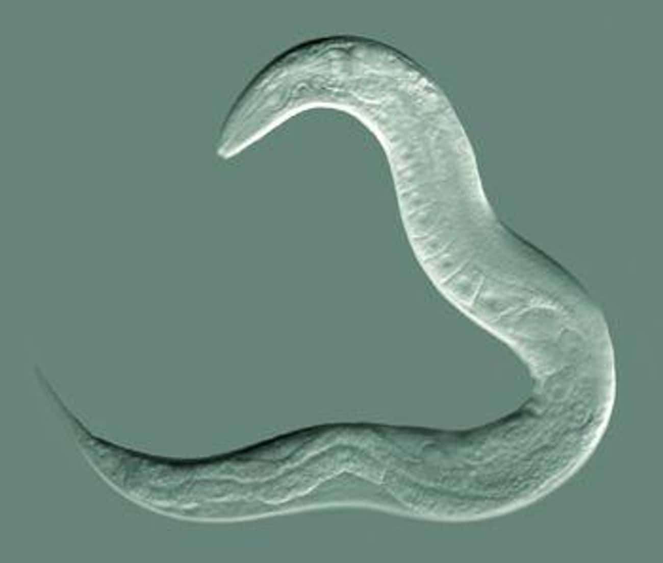 Nematode Worms Can Not Only Su is listed (or ranked) 2 on the list These Animals Can Survive Being Eaten Alive
