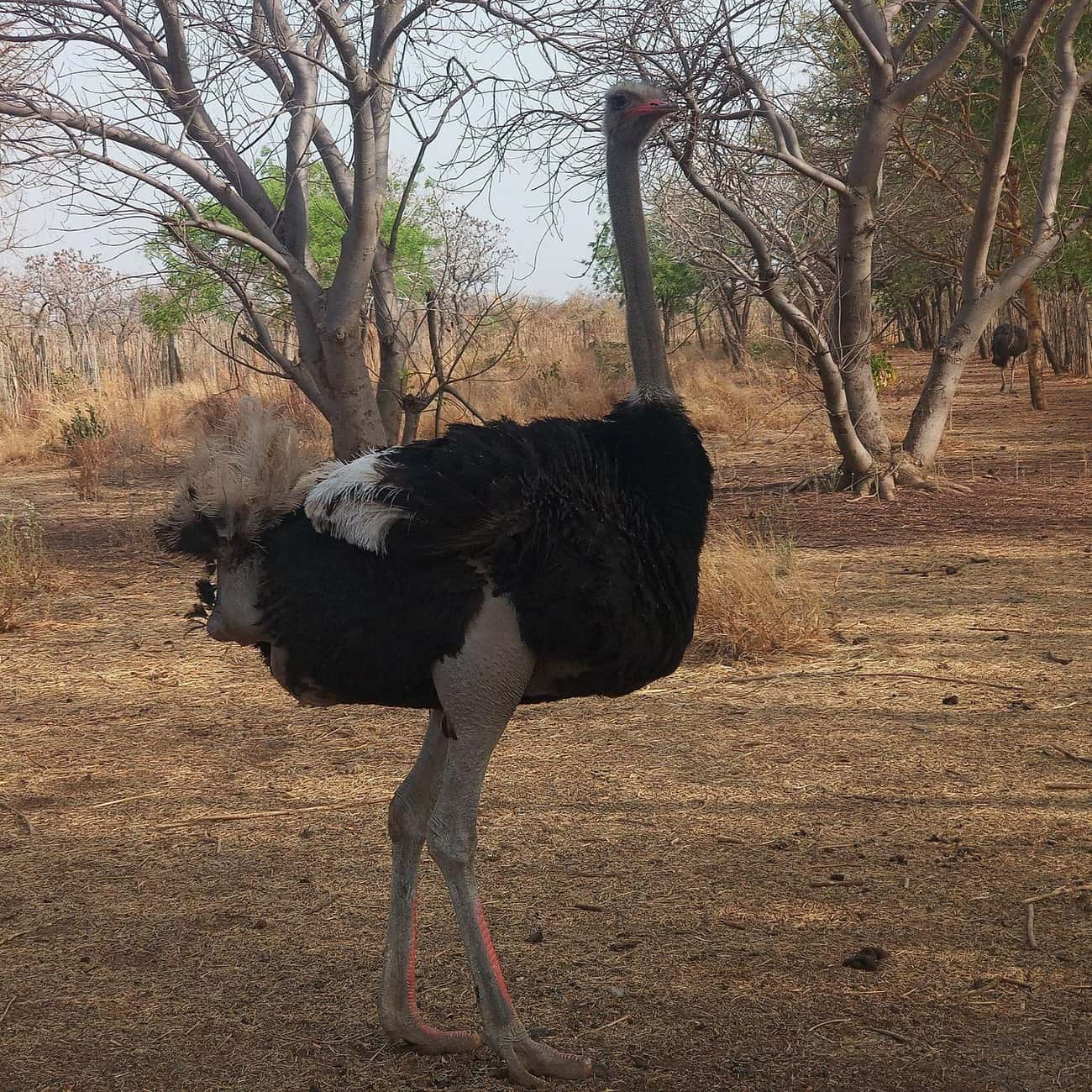 Ostrich is listed (or ranked) 2 on the list The Scariest Types of Birds in the World