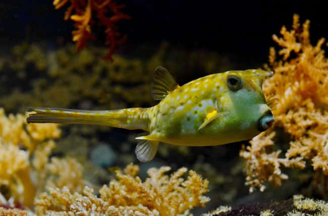 Pufferfish is listed (or ranked) 21 on the list 28 Cute Animals That You Don't Want To Mess With